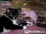 война между кошкой и крысой